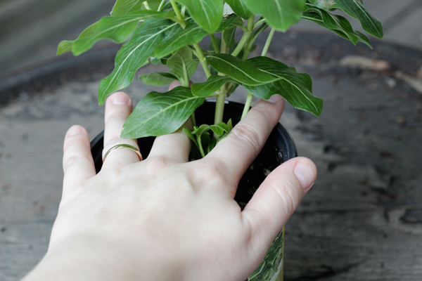 How-to: Transplant a Potted Plant - HandsOccupied.com