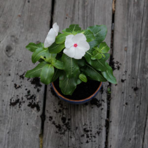 How-to: Transplant a Potted Plant