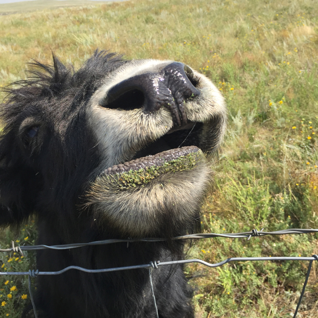 The Bijou Basin Ranch yaks enjoy some hay! - Take a look inside the yaks' lives in this mini documentary.
