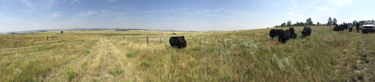 The Bijou Basin Ranch yaks enjoy some quality pasture time! - Take a look inside the yaks' lives in this mini documentary.