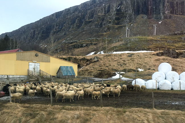 An Icelandic sheep farm